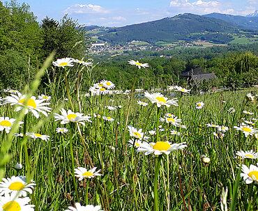 Pferdehof Trausner Blumenwiese